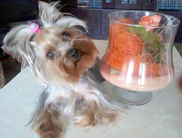 Julia-yorkshire-terrier
